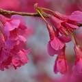 今年の桜・寒緋桜~♪