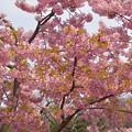 今年の桜・川津桜~♪