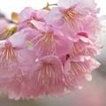 今年の桜・椿寒桜~♪