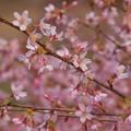 今年の桜・おかめ桜~♪