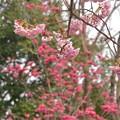 椿寒桜と寒緋桜~♪
