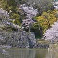 彦根城のお堀の桜~♪