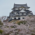 滋賀県・彦根城と桜~♪