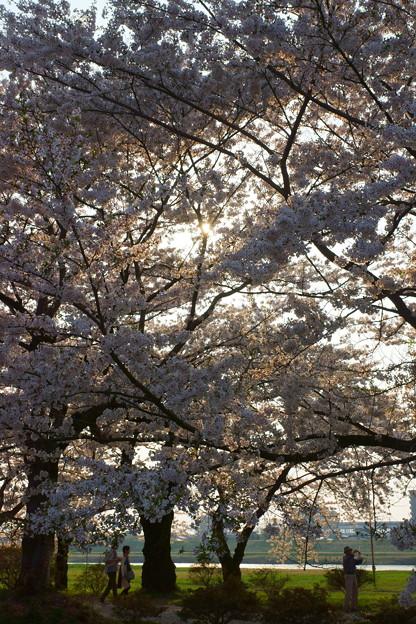 桜の木洩れ日