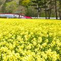 写真: 菜の花と秋田新幹線