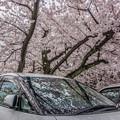 写真: 桜の屋根