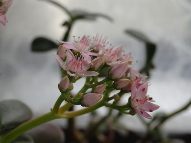 金の生る木 花が咲き