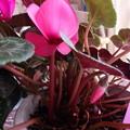 復活つぼみから花が咲き