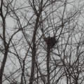 写真: カラスの巣がみつかったよ