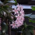 写真: 金のなる木の花