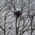 写真: カラスちゃん、巣を組んでました