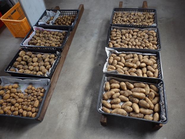 ジャガイモ 収穫第一弾
