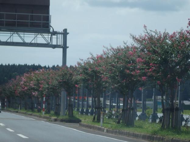 百日紅の咲く道