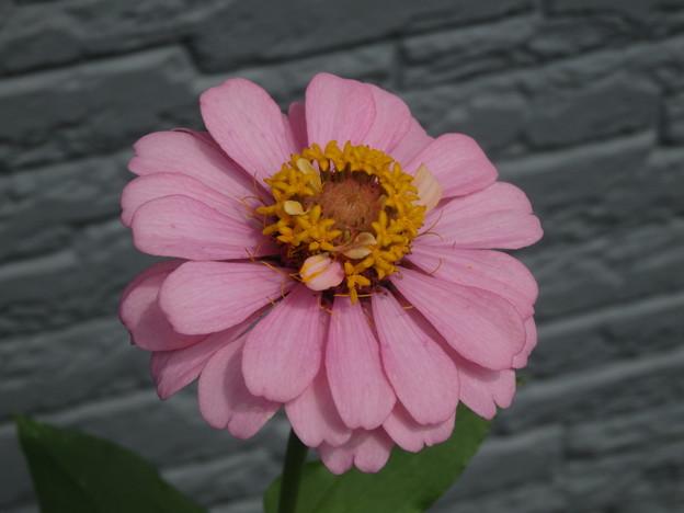 ヒャクニチソウ 花が咲き