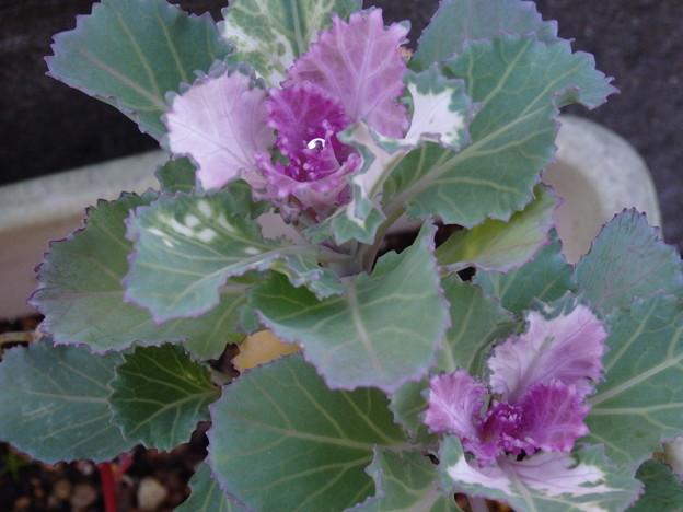 小さいけど毎年咲く葉ボタン