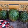 小玉スイカ 3個収穫