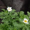 Photos: また咲きましたよ