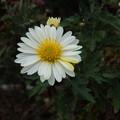 Photos: 一部色が変わった小菊