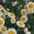 Photos: 花壇の菊