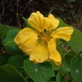 Photos: ナスタチウム 一つだけまた咲きました