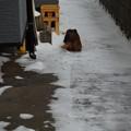 Photos: 雪かきした後を歩くらむちゃん