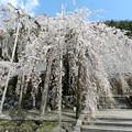 写真: 満開しだれ桜
