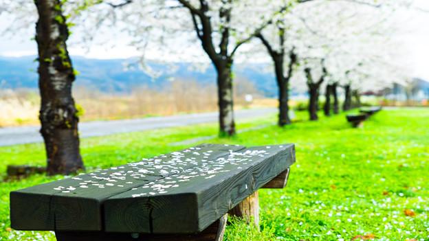 Photos: 春爛漫~そして終演の時~