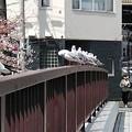 写真: 桜2018もう一枚