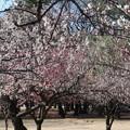 野川公園 梅