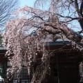 金蔵院 枝垂桜