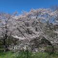 武蔵野公園 桜