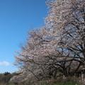 武蔵野公園 桜2