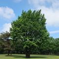 野川公園の銀杏