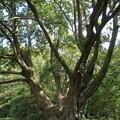 野川沿いの大木