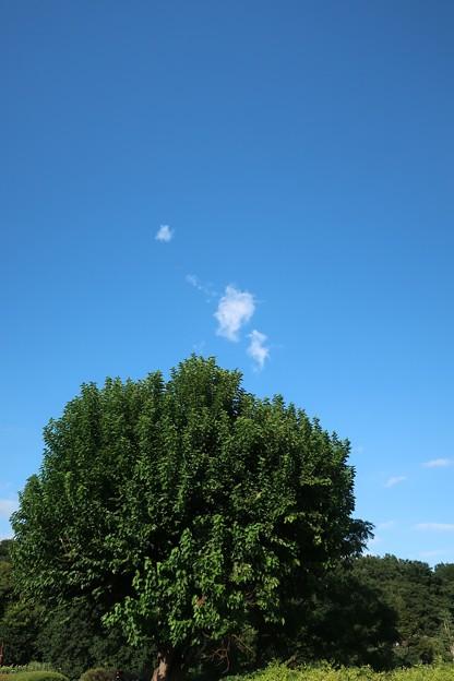 樫の木 武蔵野公園