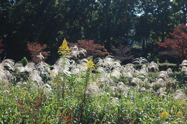 Photos: 武蔵野公園 すすき