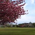 八重桜満開~小春日和!