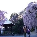 写真: 梅岩寺の枝垂れ桜