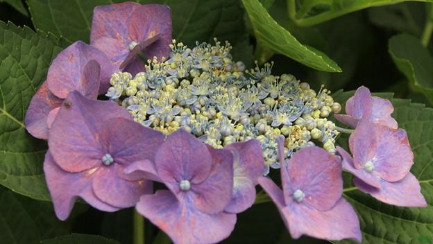 薬王寺の額紫陽花1
