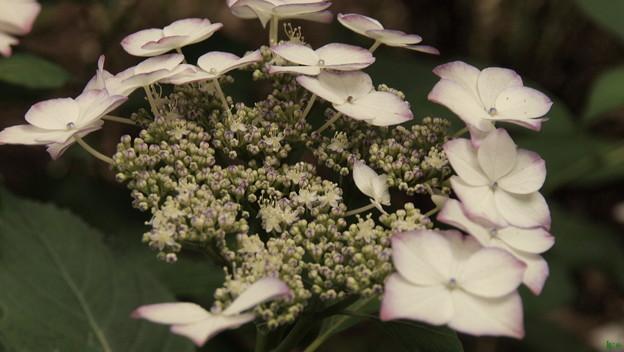 薬王寺の額紫陽花2