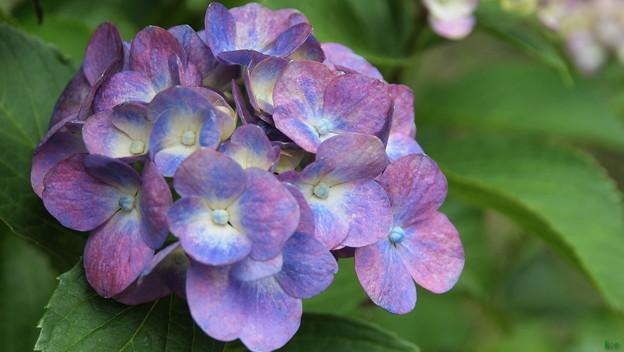 薬王寺の紫陽花