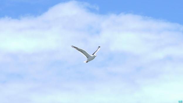 Photos: カモメ飛翔~