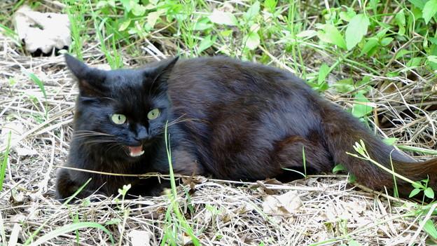 ブラックキャット♀1