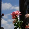 Photos: 薔薇と空