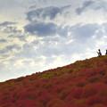 コキアの丘