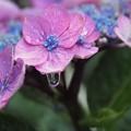 写真: 梅雨入りの日 アジサイと水滴