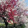 長野県木曽町の花桃