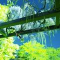 Photos: 今各地で見頃な藤の花です、こちらの写真は蔵出しですが