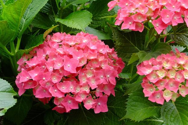 Photos: 元気な紫陽花