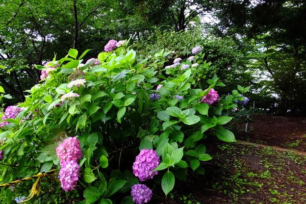 蔵出し、紫陽花